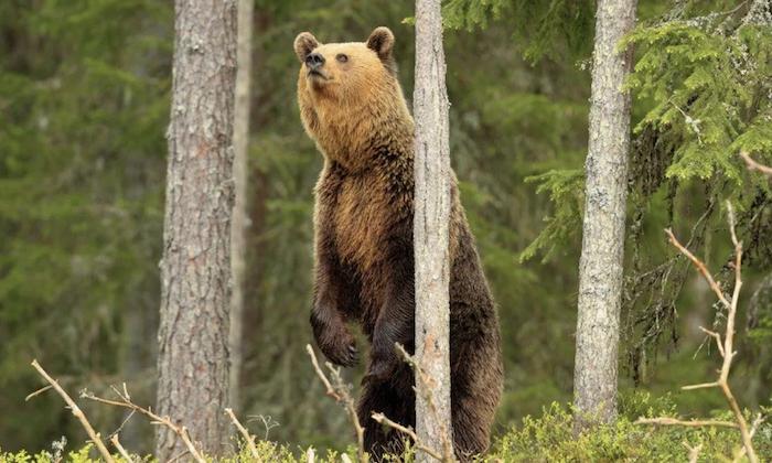 Медведь учуял пасеку